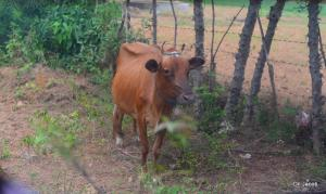 This cow stands on the land that was the birthplace and home of Vellupillai Prabakaran. There is no sign to indicate this, only the people in the area can direct you to this spot.